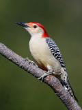 Red-Bellied Woodpecker pb.jpg