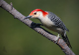 Red-Bellied Woodpecker 2 pb.jpg
