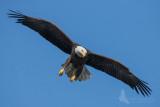 eagle 6 pb.jpg