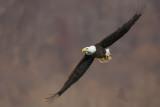 eagle 9 pb.jpg