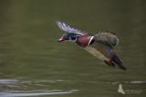 Wood Duck in flight pb.jpg