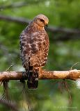 Red Shouldered Hawk pb.jpg