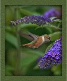 humming_birds_2012
