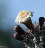 Flowering Catus