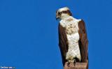 The Osprey (Pandion haliaetus)