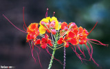 Caesalpinia Pulcherrima or Pride of Barbados