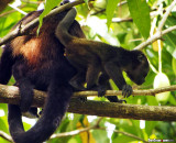 Mother and Baby Howler Monkeys
