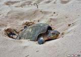 Sea Turtle Laying Eggs