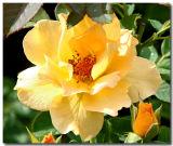 Rose Garden In Loose Park