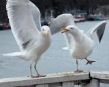 DSC06699 - Urban Seagulls