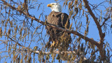 Bald Eagle Sunning on a Cold Day