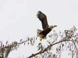 Bald Eagle against a winter sky