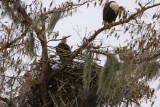 Bald Eagles -He watches while she repairs the nest