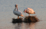 White Pelicans in the setting sunlight