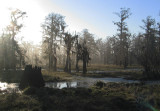 Winter Swamp in the Morning Mist