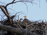 Mother and Child-the Young Couple's eaglet