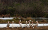 White Pelicans and one Ibis