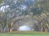 Sun Burning off the Fog in Live Oaks
