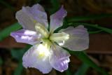 Louisiana Iris - first bloom of the season