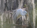 Great White Egret in its Courting Plumes