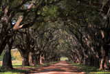 Tunnel of live oaks