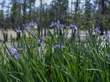 Native Louisiana Irises