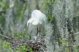 Great White Egret with Easter chicks in nest