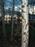 Birch at sunset