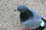Pigeon 1495.jpg
