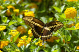 Butterfly 1789.jpg