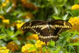 Butterfly 1791.jpg