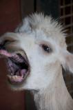 An Angry Alpaca