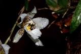 Orquídea Rhynchostele cervantesii