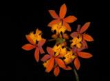Epidendrum fulgens 2.jpg