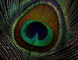 pluma pavoreal