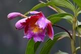 Orquidea Peruana en Waynapichu