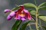 Orquidea en Waynapichu 2.jpg