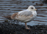Ring-billed Gull   1st Winter