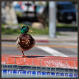 Santa Monica Stop-Over & Swim For A Migrating Mallard