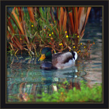 It's A Ducks Life ;-)