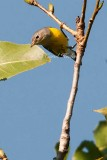 Fall Magnolia Warbler