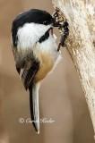 Chickadee Hiding a Seed