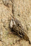 Brown Creeper, Creeping