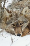Coyote Resting Under My Winterberry .