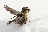 Redpoll Wing Wave