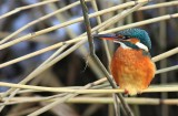 IJsvogel / Kingfisher