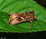 Plusiinae Moths (Family: Noctuidae; Subfamily: Plusiinae)  8907  - 9053