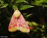 Primrose moth (Schinia florida), #11164
