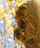 Andrenid bees (Family: Andrenidae)
