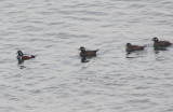 Harlequin Ducks - Duxbury Beach, MA - Jan. 9, 2013   - off Gurnet point